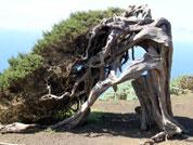 Knorrige Bäume El Sabinar