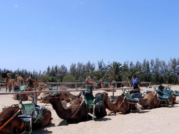 Kamele auf Fuerteventura