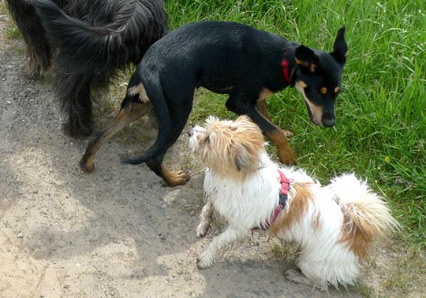 Hunde toben